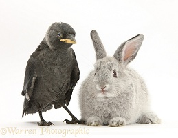 Baby silver rabbit and baby Jackdaw