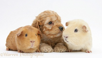 Golden Cockapoo pup, 6 weeks old, with Guinea pigs