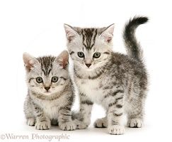 Two silver shorthair kittens
