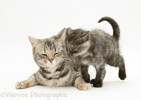 Mother cat and smoke shorthair kitten