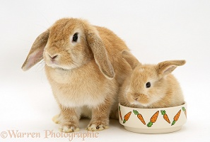 Sandy Lop doe rabbit and baby in a food bowl