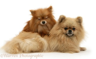 Pomeranian mother and pup