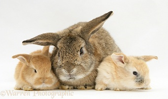 Sandy Lop rabbits