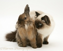 Birman cat and Lionhead rabbit