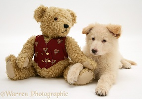 White Alsatian pup and teddy bear