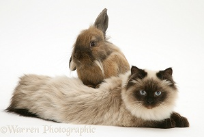 Young Birman-cross cat with Dwarf Lionhead x Lop rabbit
