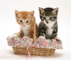 Tabby and ginger kittens in a wicker basket