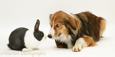 Sable Border Collie and blue Dutch rabbit
