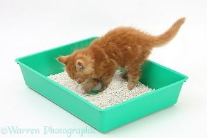 Ginger kitten using a litter tray