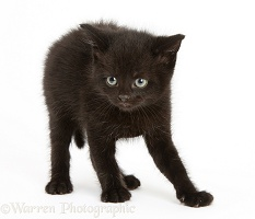 Black kitten, 7 weeks old, defensive