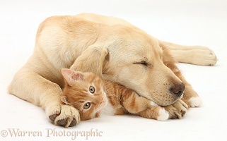 Sleepy Yellow Labrador pup and ginger kitten