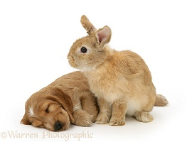 Sleeping Golden Cocker Spaniel puppy and rabbit