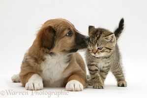 Border Collie pup with tabby kitten