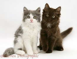 Persian cross kittens