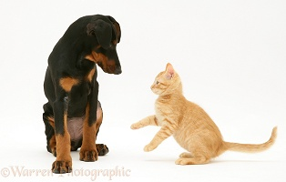 Doberman pup and ginger kitten