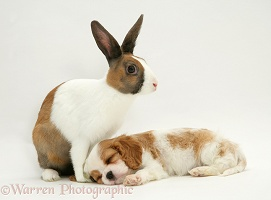 King Charles pup and Dutch rabbit