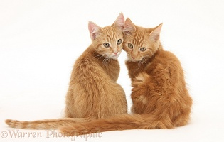 Two ginger kittens, looking over their shoulders