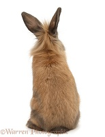Lionhead-cross rabbit, back view