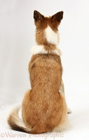 Border Collie back view