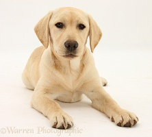 Yellow Labrador Retriever pup, 5 months old