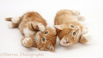 Two ginger kittens lying together on their backs