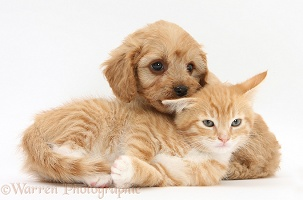 Cavapoo pup and ginger kitten