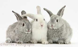 Two silver and one white baby rabbits