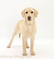 Yellow Labrador pup, 5 months old, standing