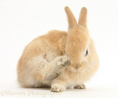 Young Sandy Lop rabbit scratching his nose