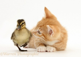 Ginger kitten and Mallard duckling
