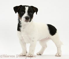 Jack Russell Terrier pup