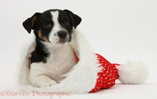 Jack Russell Terrier pup in a Santa hat
