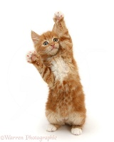 Ginger kitten standing up and reaching out