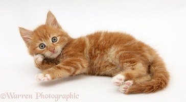 Ginger kitten rolling playfully on his side