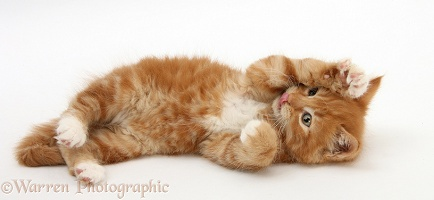 Ginger kitten rolling playfully on its back