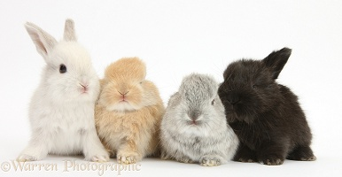 Four baby Lop rabbits