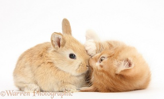 Ginger kitten, 7 weeks old, and baby sandy Lop rabbit