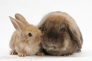 Lionhead-Lop rabbit and baby
