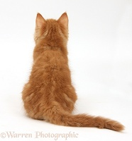 Ginger kitten, back view