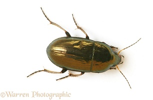 Small ground beetle