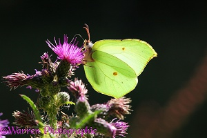 Brimstone Butterfly on marsh thistle