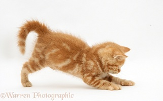 Ginger kitten pouncing