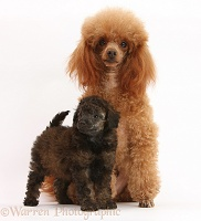 Red toy poodle dog and 7-week-old red merle pup