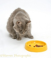 Maine Coon cat eating from a yellow plastic bowl