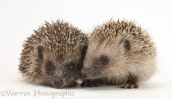 Pair of baby Hedgehogs