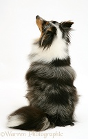 Sheltie, back view