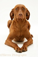 Hungarian Vizsla bitch lying with head up