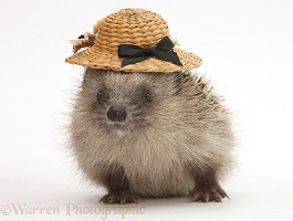 Baby Hedgehog wearing a straw hat
