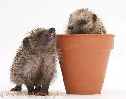 Baby Hedgehogs in a flowerpot