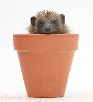 Baby Hedgehog in a flowerpot